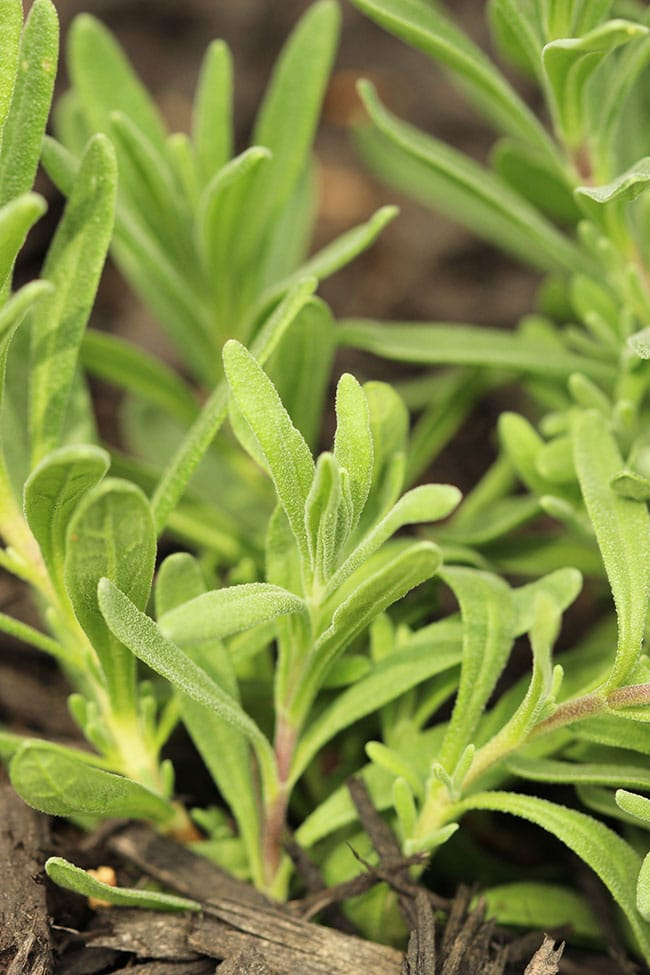 7 Tips for Starting an Herb Garden | The Suburban Soapbox