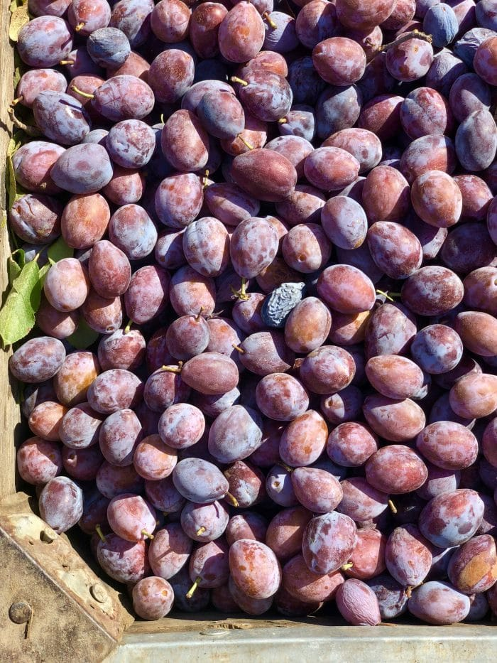 bin full of California plums for prunes.
