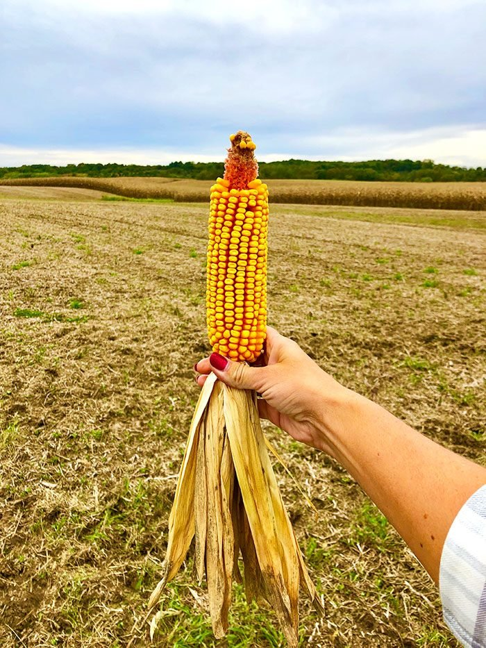 Ear of field corn being held up in a cornfield in Iowa.