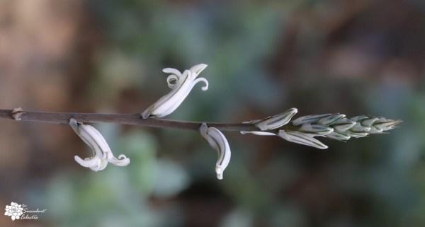 haworthia flowers