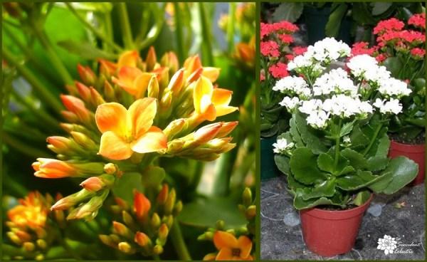 flowering succulents kalanchoe blossfeldiana are easy indoor succulents