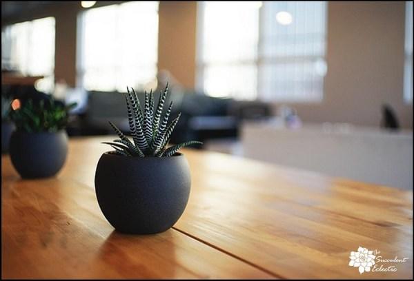 Haworthia are terrific indoor succulents, perfect for houseplants