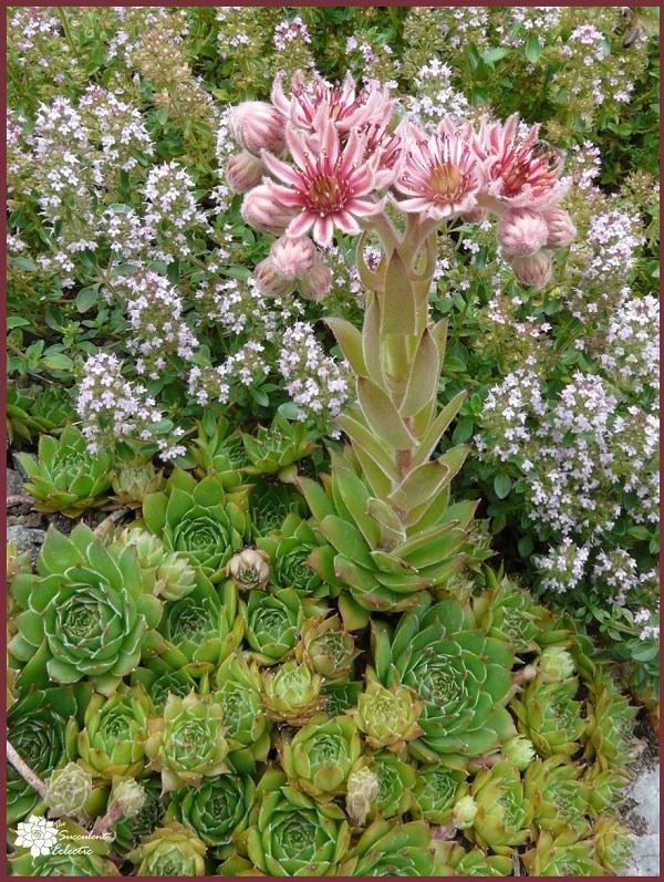 monocarpic sempervivum die back after flowering