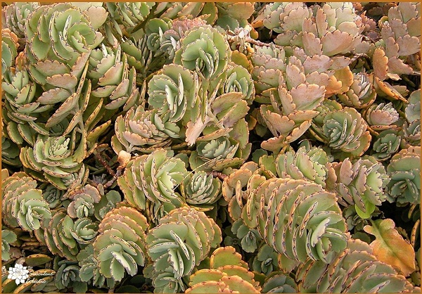 succulent kalanchoe fedtschenkoi