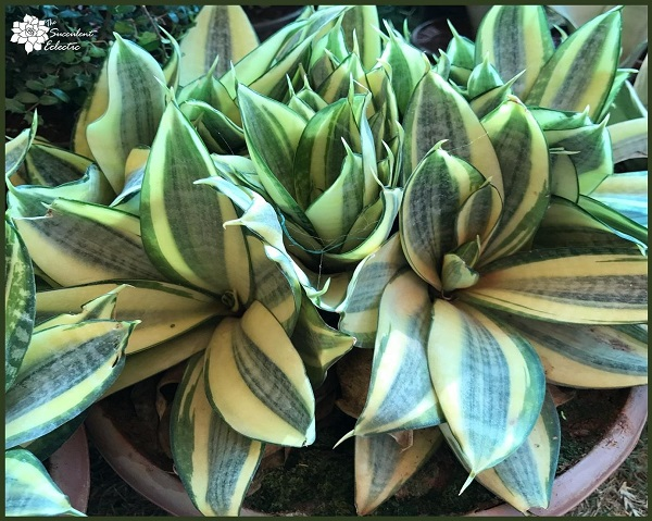 sansevieria care - snake plant care