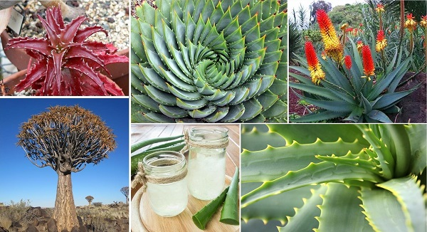 Species Spotlight Aloe Plant Care The Succulent Eclectic