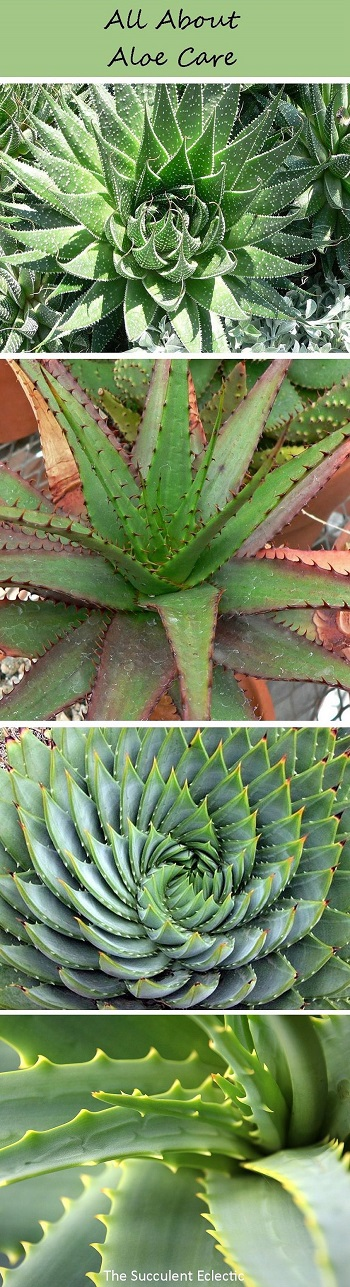 All about growing aloes