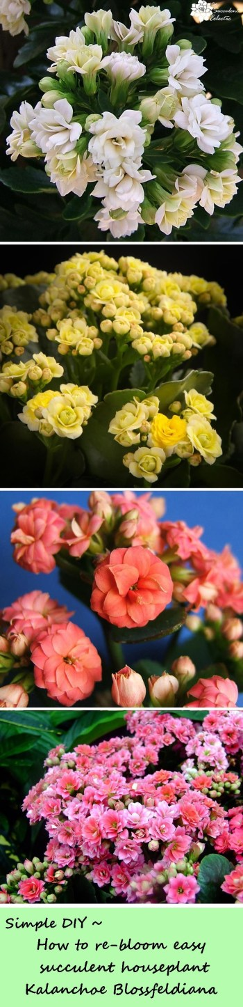 How to rebloom kalanchoe blossfeldiana