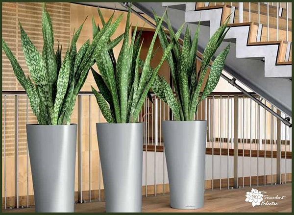 sansevieria snake plant, easy indoor succulent plant