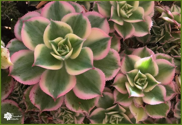 variegated aeonium sunburst shows a lot of pink in its rosette succulent form