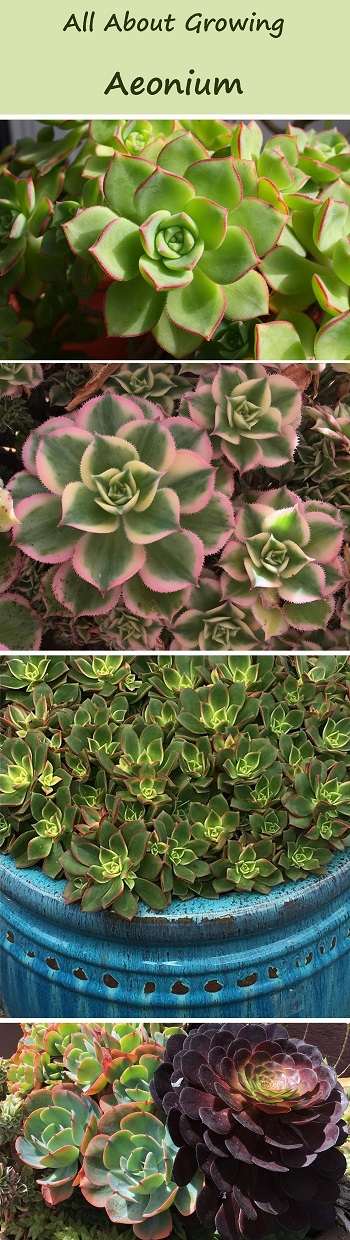 all about growing aeonium rosette succulents