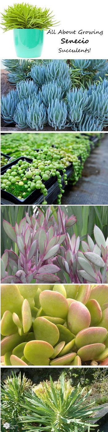 different varieties of senecio succulents