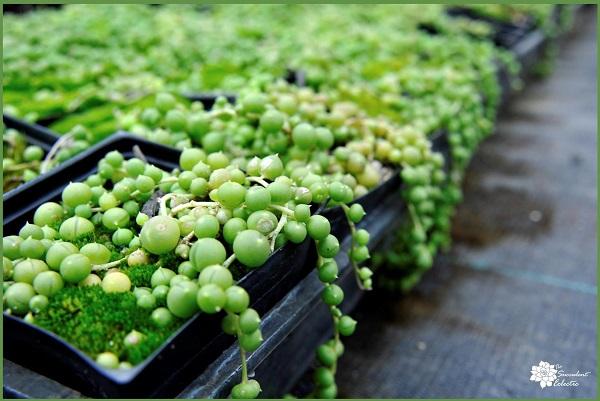 seneciorowleyanus the string of pearls plant trailing succulent