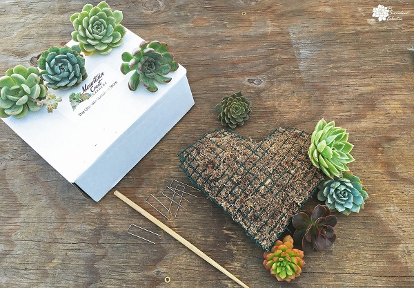 planning echeveria placement for succulent topiary heart