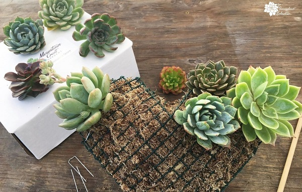 adding echeveria cuttings to topiary heart form