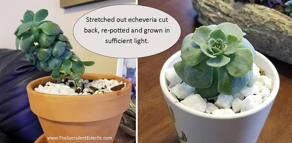 correcting etiolated succulent by cutting stem and replanting
