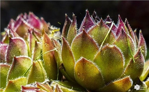 closeup of sunlight on sempervivum