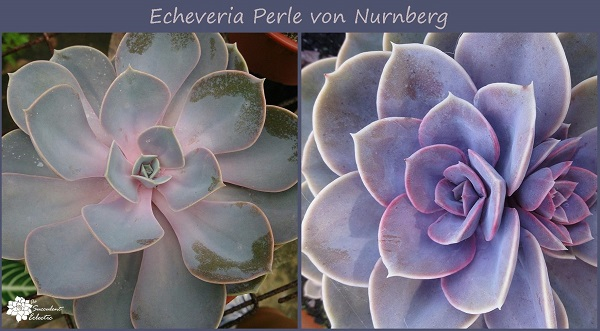echeveria perle von nurnberg develops better color with more sunlight