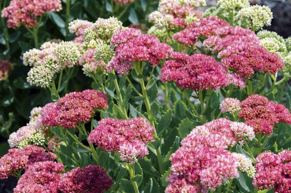 cold hardy sedum spectabile plants in colorful blooms of pink, white and magenta