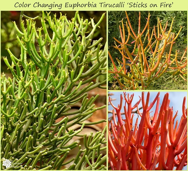 Euphorbia tirucalli 'Sticks on Fire' develops bright color in response to stress and more sunlight