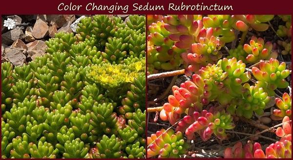 sun stressed succulents sedum