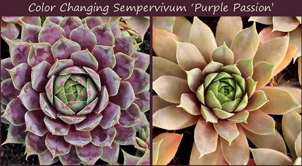 color changing succulents illustrated by sempervivum in spring and fall