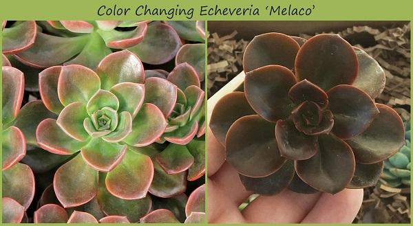 echeveria melaco develops deeper color in response to stress of more sun exposure