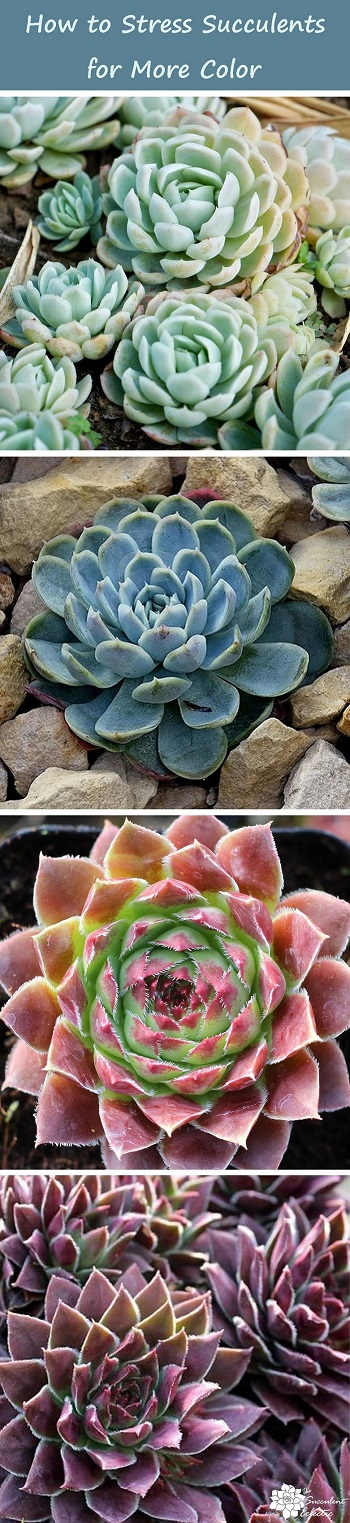 how to stress succulents for more color