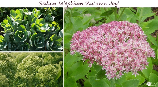 sedum telephium autumn joy leaves, buds and blooms beautiful throughout the seasons