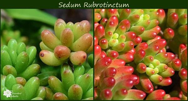 sedum rubrotinctum jelly beans develops colorful leaves in response to more sunlight