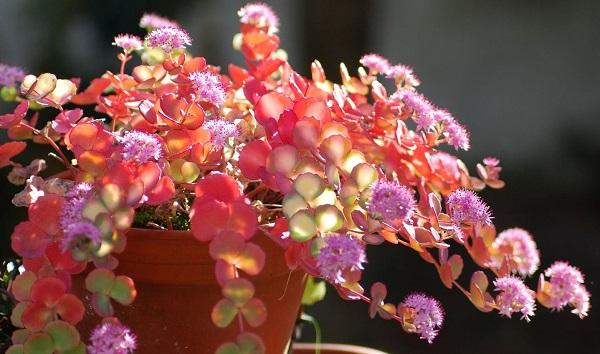 sedum sieboldii varigatum with sun through the variegated leaves