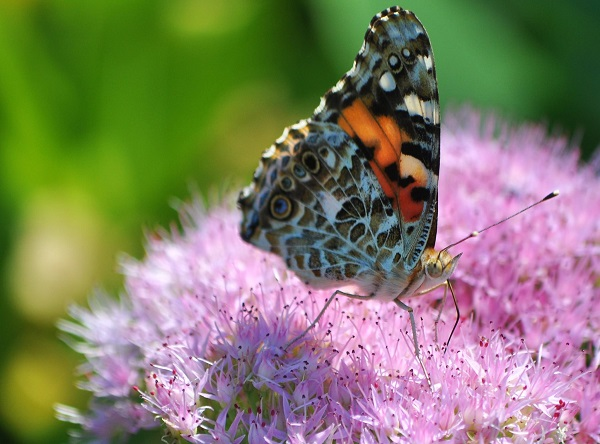sedum autumn joy blooms with butterfly pollinating