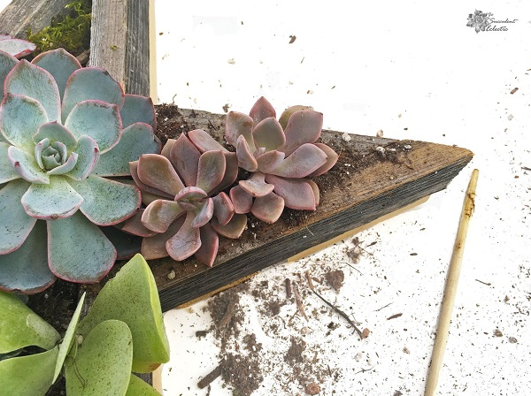 plant succulent in Star Shaped Planter for Succulents