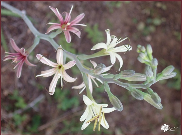 manfreda flowers - from a monocarpic succulent variety
