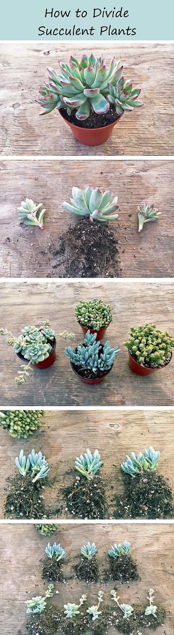 Succulent propagation - How to divide succulent plants