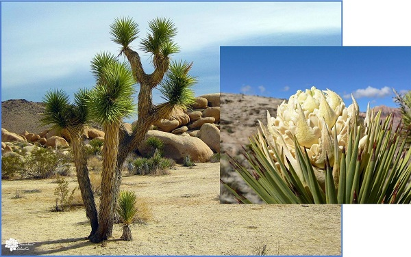 do succulents die after blooming? not for this monocarpic yucca