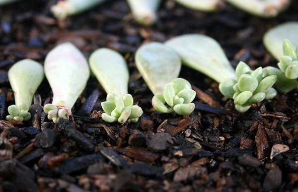 succulent propagation leaves in soil