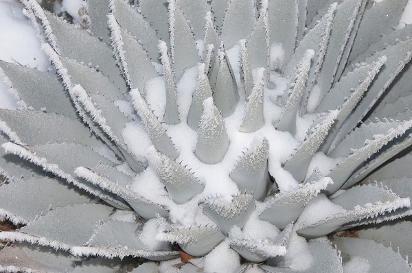 best cold hardy succulents withstand snow and sleet
