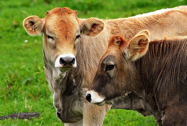cows for manure
