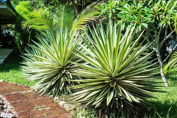 heat tolerant succulents Furcraea in a garden