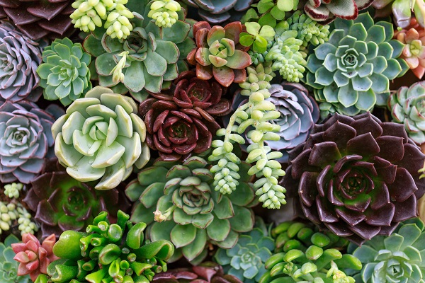 colorful mixed succulents to propagate by leaves