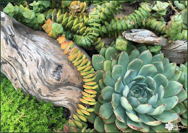 mixed succulent planting