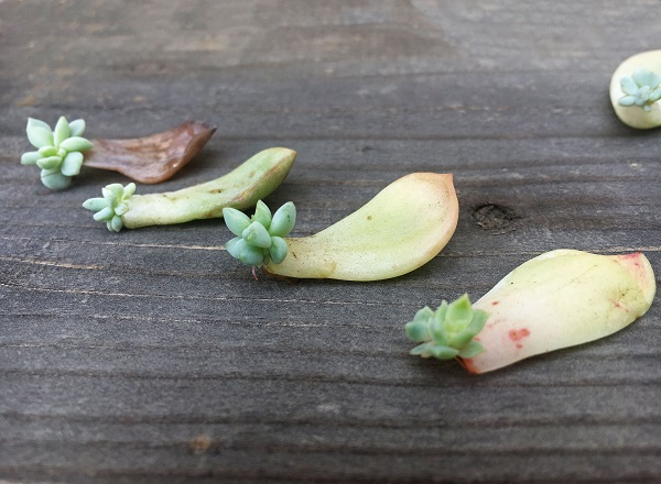 succulent leaves sprouting new plants for propagation