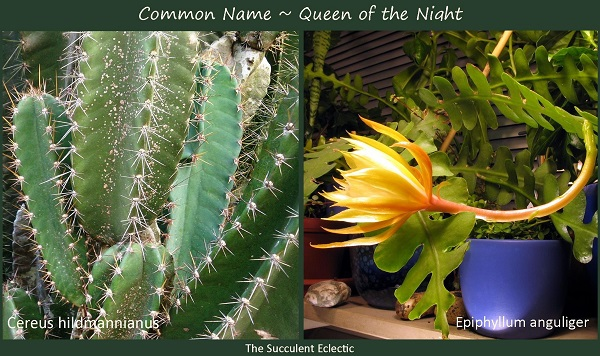 same common name queen of the night for 2 very different plants