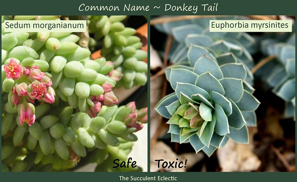 "Which ""donkey tail"" succulent is safe for your pets? Scientific names matter"