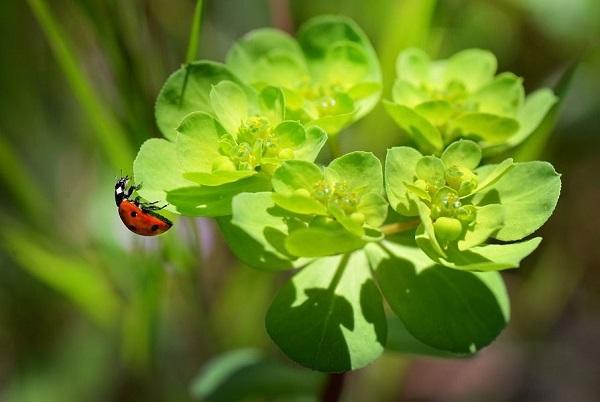 ladybugs feed on pests and mealybugs on succulents euphorbia