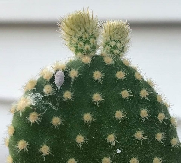 Closeup of mealybugs on succulents opuntia cactus
