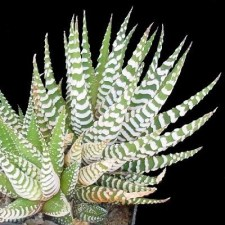 Haworthia make great houseplants, safe for pets