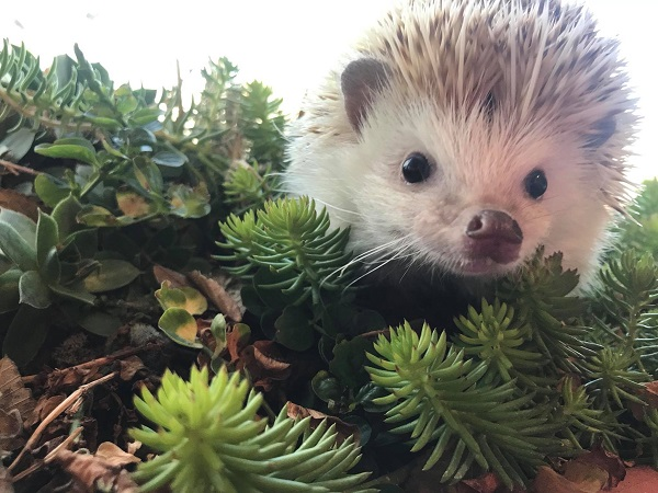 hedgehog investigating mixed pet safe succulent plants
