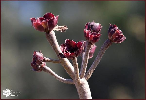 dormant aeonium arboreum